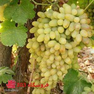 نهال انگور فخری سفید