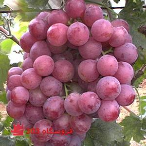 نهال انگور ردگلوب