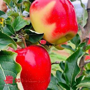 نهال سیب دو رنگ فرانسه