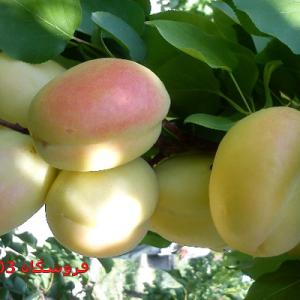 نهال زردآلو شاهرودی