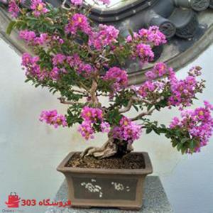 بذر بونسای گل توری