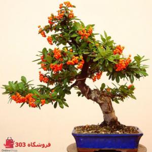 بذر بونسای پیراکانتا نارنجی