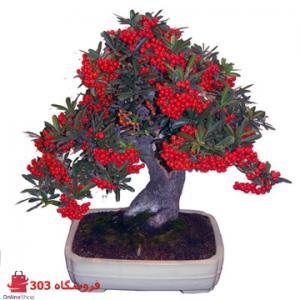 بذر بونسای پیراکانتای قرمز