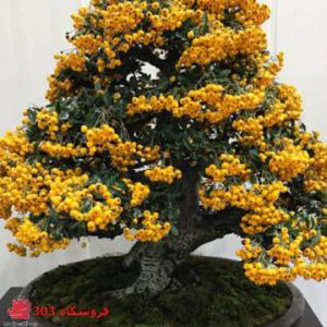 بذر بونسای پیراکانتا زرد