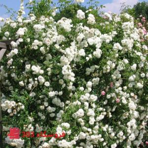 بذر رز رونده سفید